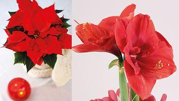 Joulutähti ja Amaryllis luovat punaisen tunnelman. Kuvat: Huiskula