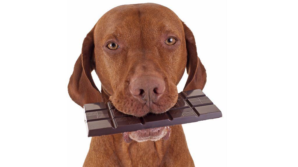 Suklaa Koiralle