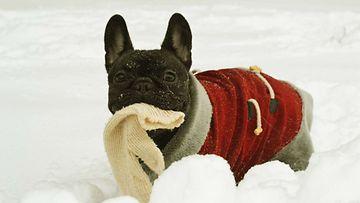 """Mango-koira: """"Ensilumen lumoissa!"""" Kuva: Maritan Ristonmaan"""