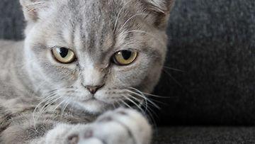 """Miming-kissa: """"Möllötän ja löhötän samaan aikaan:)"""" Kuva: April Ervonmaa"""