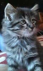 """Oliver-kissa: """"4 kk vanha, oikea villikissa!"""" Kuva: Nina Kuusela"""
