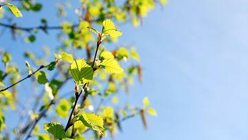 Koivu ei vielä kuki Suomessa, mutta sitä saapuu kulkeutumina Keski-Euroopasta myös tänne.