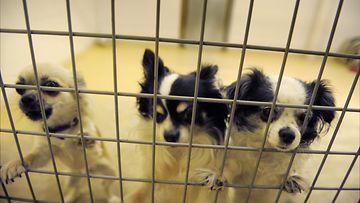 Nämä chihuahuat viettivät aikaa koirahoitolassa 19. maaliskuuta 2012.