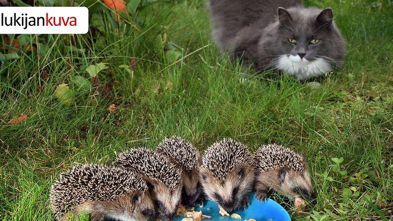Kissa ei siilien ruokailusta paljoa välittänyt.