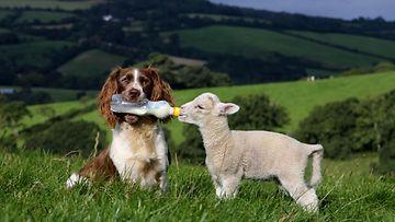 Brittiläinen Springerspanieli Jess ruokkii lammaskaveriaan.