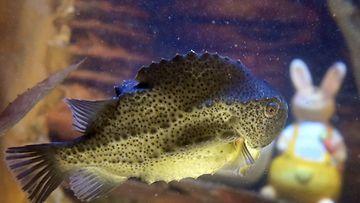Rasvakala sai pääsiäiskoristeita akvaarioonsa. AquaDom & SeaLife, Berliini, Saksa