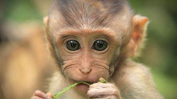 Apinat varastelevat turisteilta Balilla, Indonesiassa.
