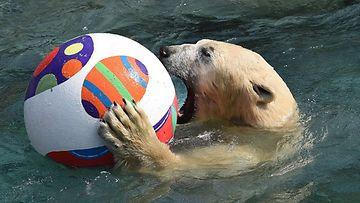 Jääkarhu  Nanuq sai oman pääsiäispallon Hanover Zoossa.