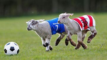 Lampaat pelasivat pääsiäisen kunniaksi Lambs Easter Football Predictionsissa!