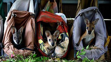 Orpot wallabit asuvat tällaisissa pusseissa South Walesissa, Australiassa