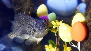 Kala sai pääsiäiskoristeita akvaarioonsa. AquaDom & SeaLife, Berliini, Saksa