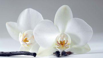Vaniljaa saadaan orkidealajikkeesta, jonka nimi on Vanilla planifolia.