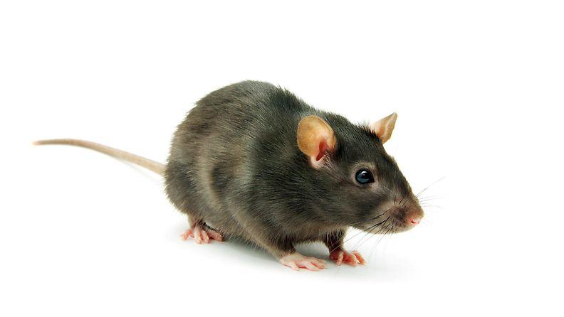 hiiri