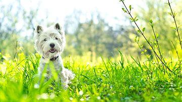 Koira ruohikossa