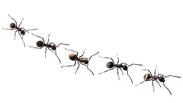 muurahainen