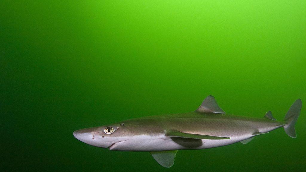 Itämeri Hai