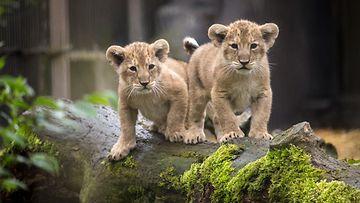leijonanpennut