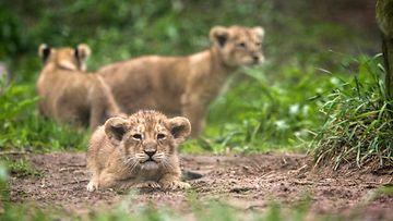 leijonanpennut2