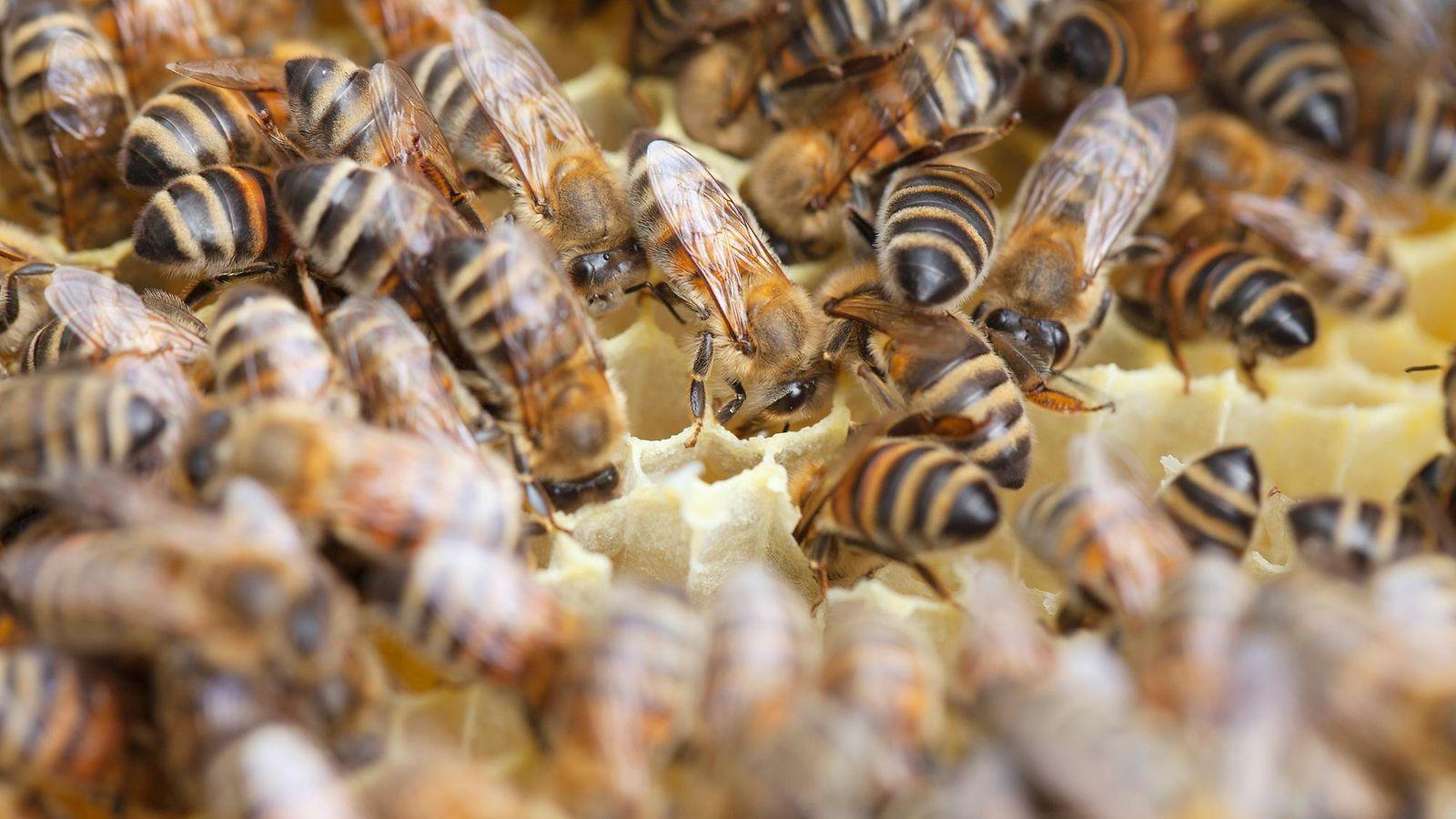 Mehiläisten sukupuutto