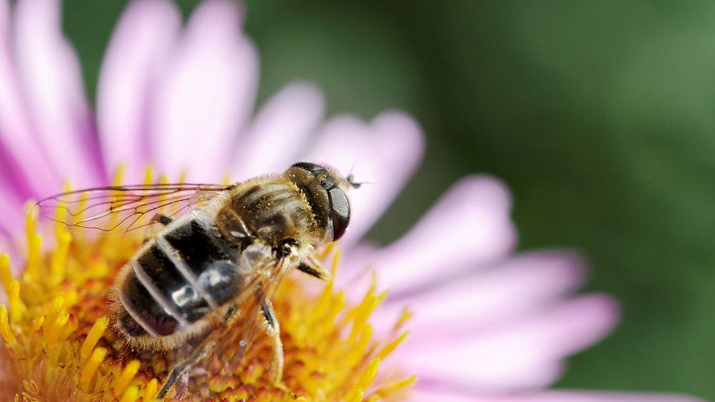 Erakkomehiläinen