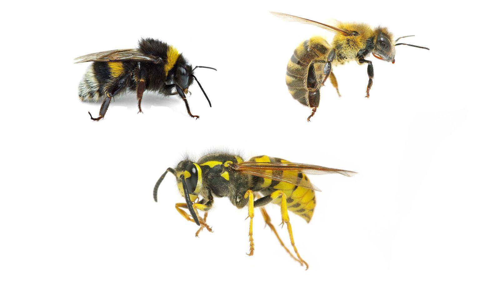 Mehiläinen Kimalainen