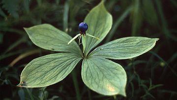 Sudenmarja (Paris quadrifolia)