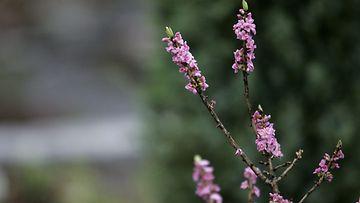 Näsiä (Daphne mezereum)