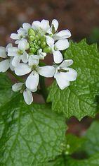 Litulaukka (Alliaria petiolata)