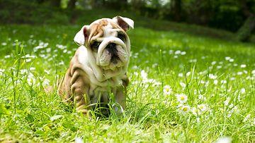 koira, kesä