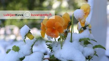 Lunta pyrytti aamulla 17. kesäkuuta 2014 Ranualla. Lukijan Kuva: Anna-Liisa Sarajärvi