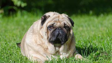 lihava koira