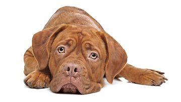 mustasukkainen koira