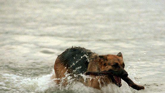 saksanpaimenkoira hakee keppiä merstä. (Lehtikuva)