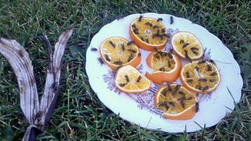 appelsiiniampiainen2