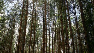 Mänty häviää usein trooppiselle puulle puutarhakalusteiden raaka-aineena.
