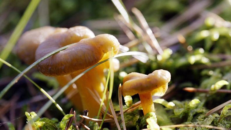 Suppilovahveroita (Cantharellus tubaeformis) metsässä.