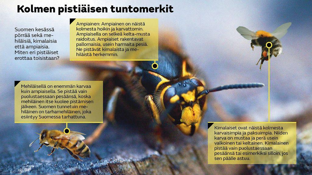 Ampiainen mehiläinen ero