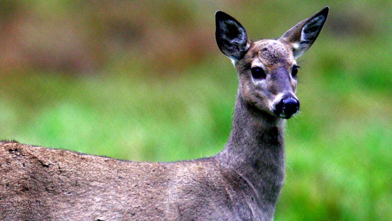 Maanteillä on sattunut useita peurakolareita. Kuvan valkohäntäpeura on ikuistettu Korkeasaaressa.