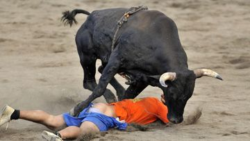 An amateur is being charged by a bull during the traditional bullfights in the Bullring of Zapote in the city of San Jose, Costa Rica, 27 December 2011.