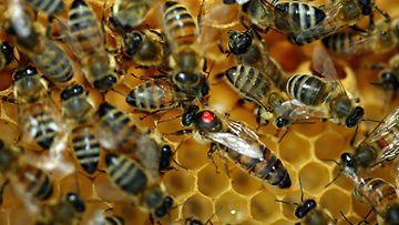 Mehiläisiä pesässään. Kuningatarmehiläisen selkään on maalattu punainen täplä.