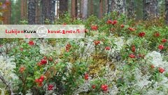 Puolukkasato kypsyy pian etel�isess� Suomessa