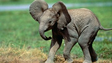 norsu,-haluan-vain-juosta-vapaana