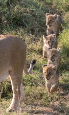 leijonapennut,-kaikki-yhdessä-koossa