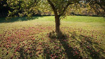 N�in suojaat omenapuusi