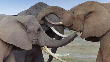 norsu, elefantti