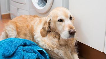 koira, pyykki