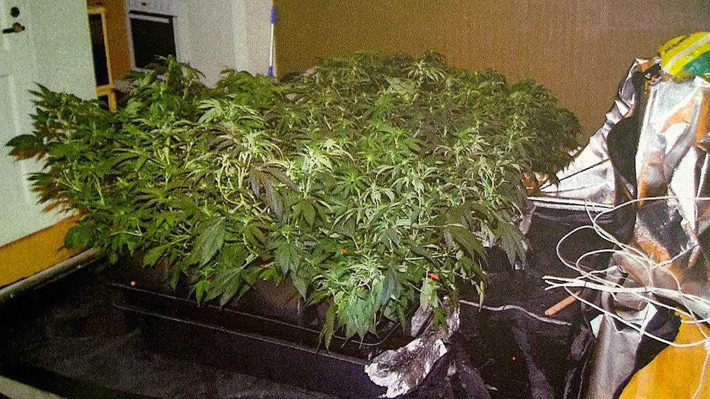 Kannabis Kasvatus