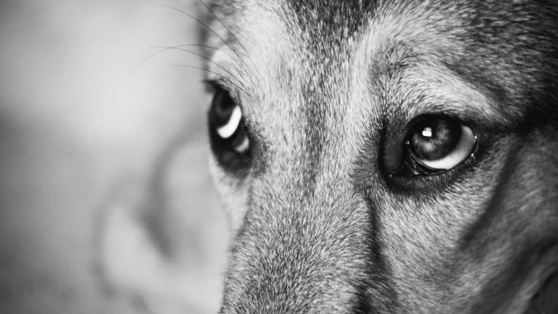 koira (2)