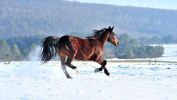 hevonen (1)
