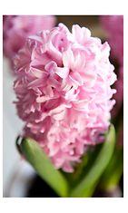 pink hyasintti